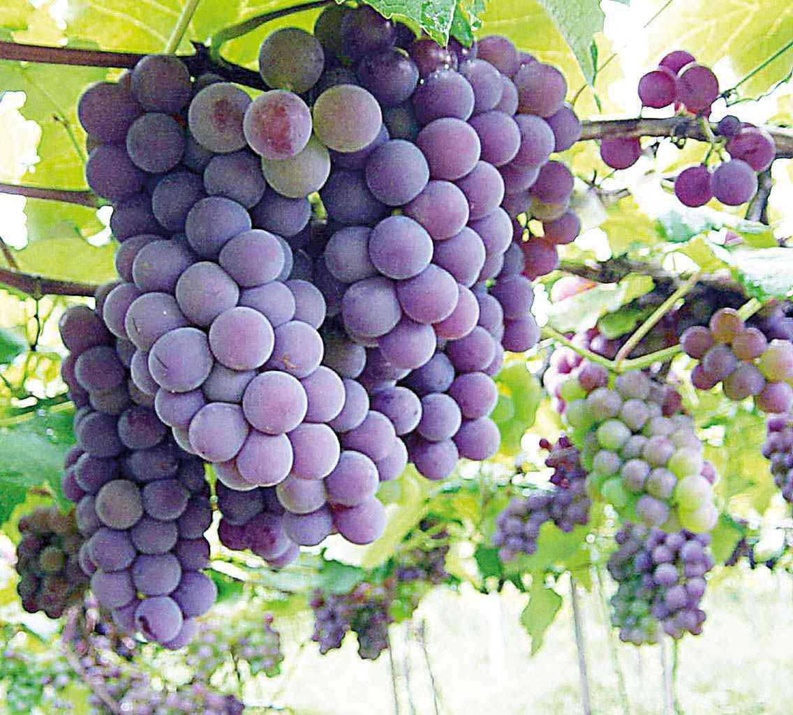 Bagaço de uva: Embrapa pesquisa usos para resíduo nobre - Diário ...