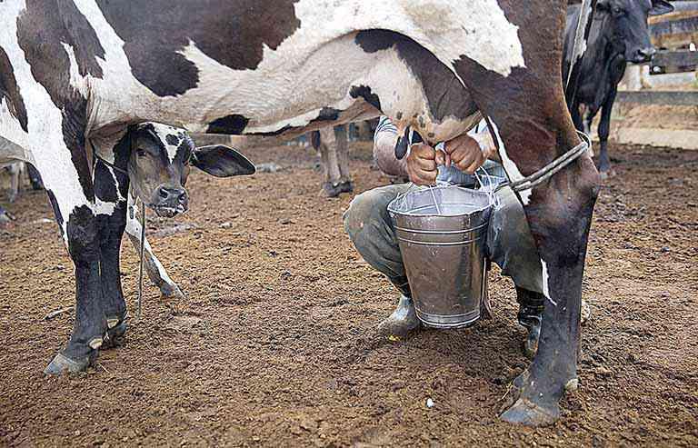 pecuária leiteira