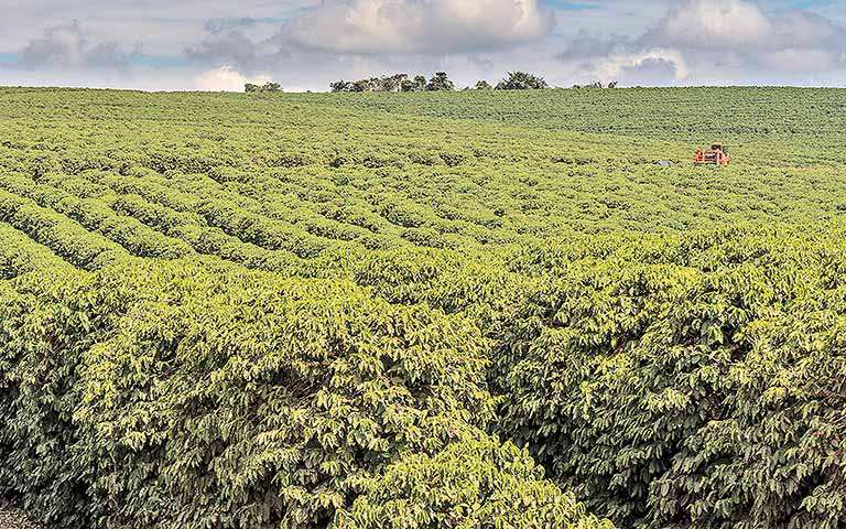 Umidade favorece desenvolvimento das lavouras de café em Minas