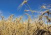 Argentina pode elevar tarifas de grãos