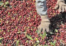 Pesquisa aponta relevância de pequenos produtores para cultura no País