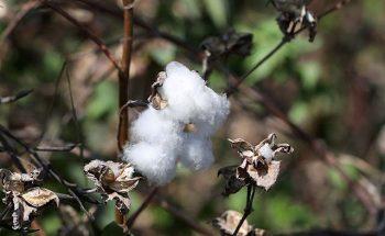 Diversos fatores, dentre eles a recuperação da demanda mundial, vêm influenciando em alta do algodão  | Crédito: Mohamed Abd El Ghany/ Reuters