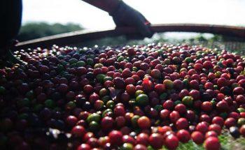Em MG, o café foi a cultura que mais recebeu recursos para custeio em setembro | Crédito: Marcelo Camargo/ABr