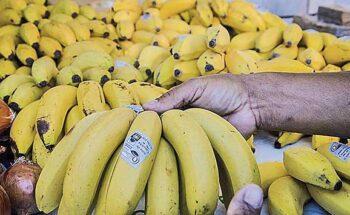 Em agosto, o preço da banana na Ceasa Minas apresentou um aumento de 40,85% | Crédito: Elaine Moreira/Agência Minas