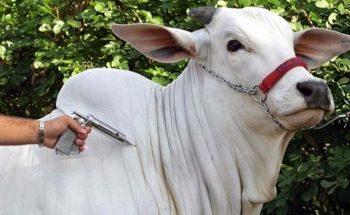 Expectativa, nesta fase, é de que em torno de 10 milhões de animais em todo o território mineiro sejam imunizados |Crédito: Divulgação/IMA